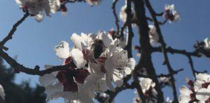 rozkvetla-merunka-vcelka